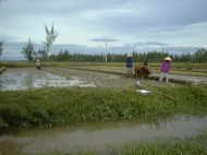 rice paddy with people in asian hats and a water buffaclo