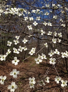 dogwood trees bloom every spring