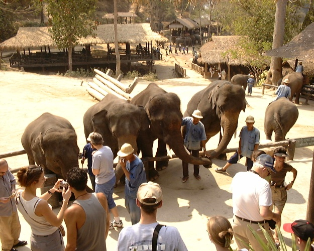 Asian elephants entertaining tourists in Thailand