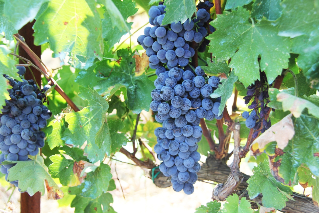 grape vine with blue grapes