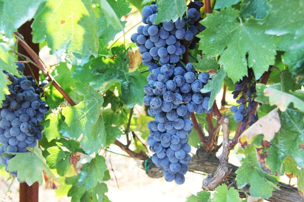 grape vine with blue grapes