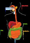 digestive organs
