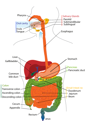 diagram of the human digestive organs