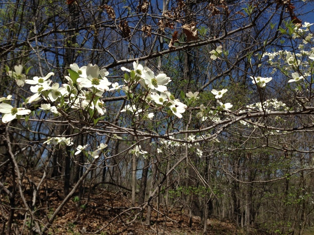 Dogwood trees bloom in the spring.