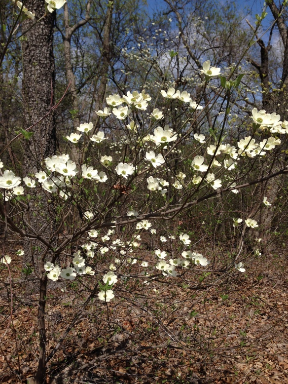 blooming dogwood tree