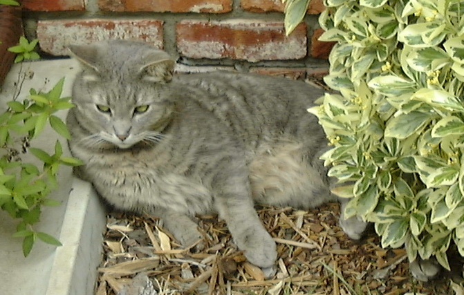 cat lying on the ground next to green shrubs