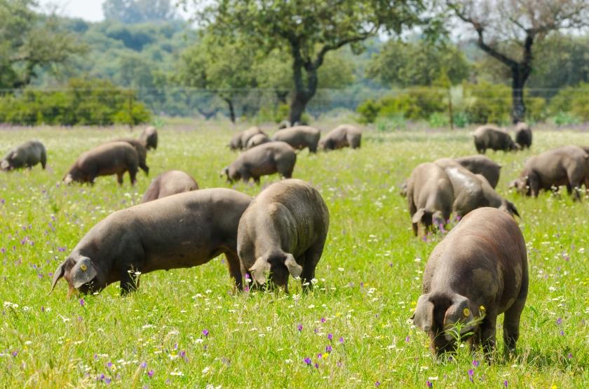 Pigs graze on farm in countryside of Badajoz, Extremadura.