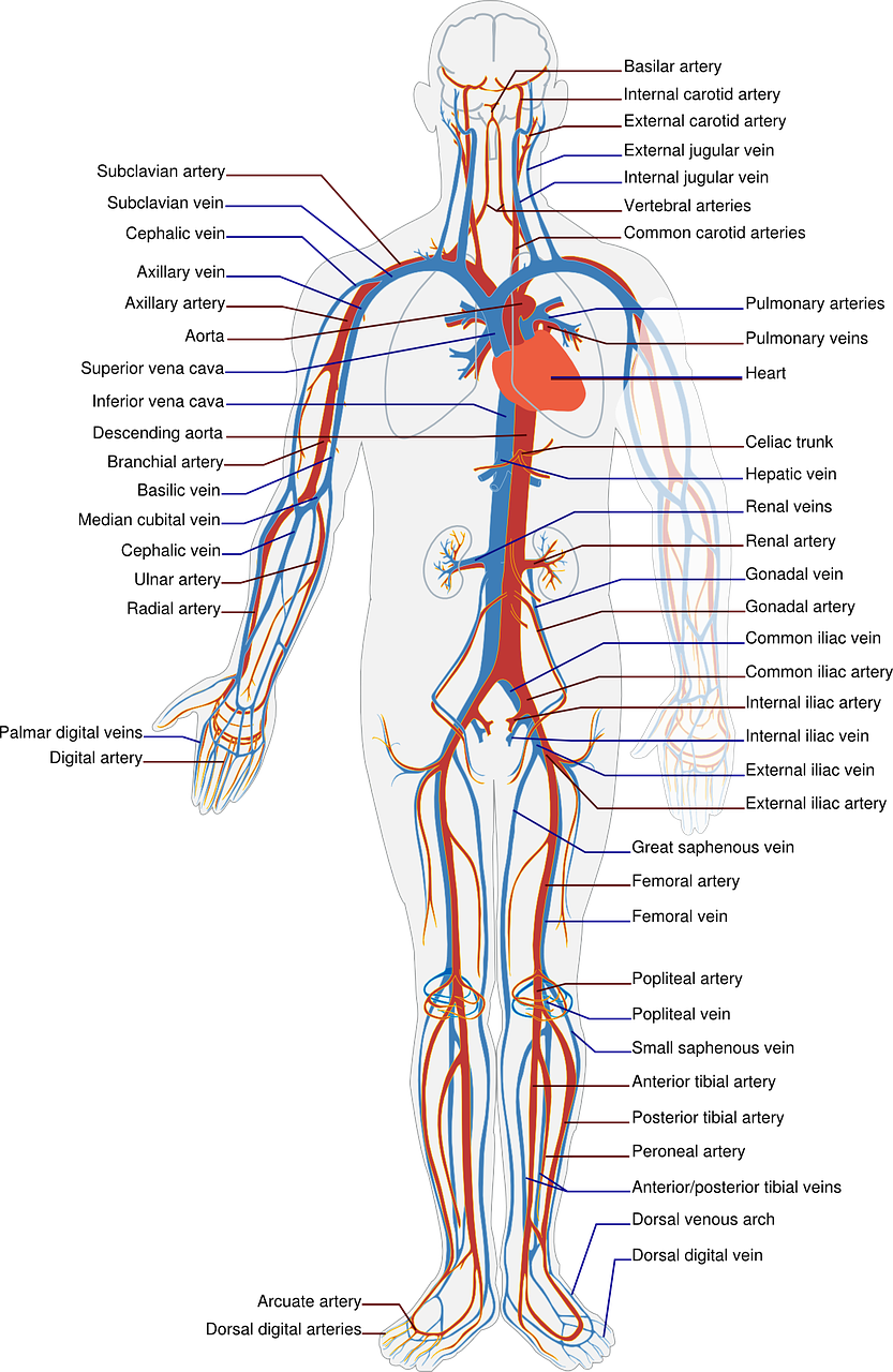 diagram of the veins and arteries