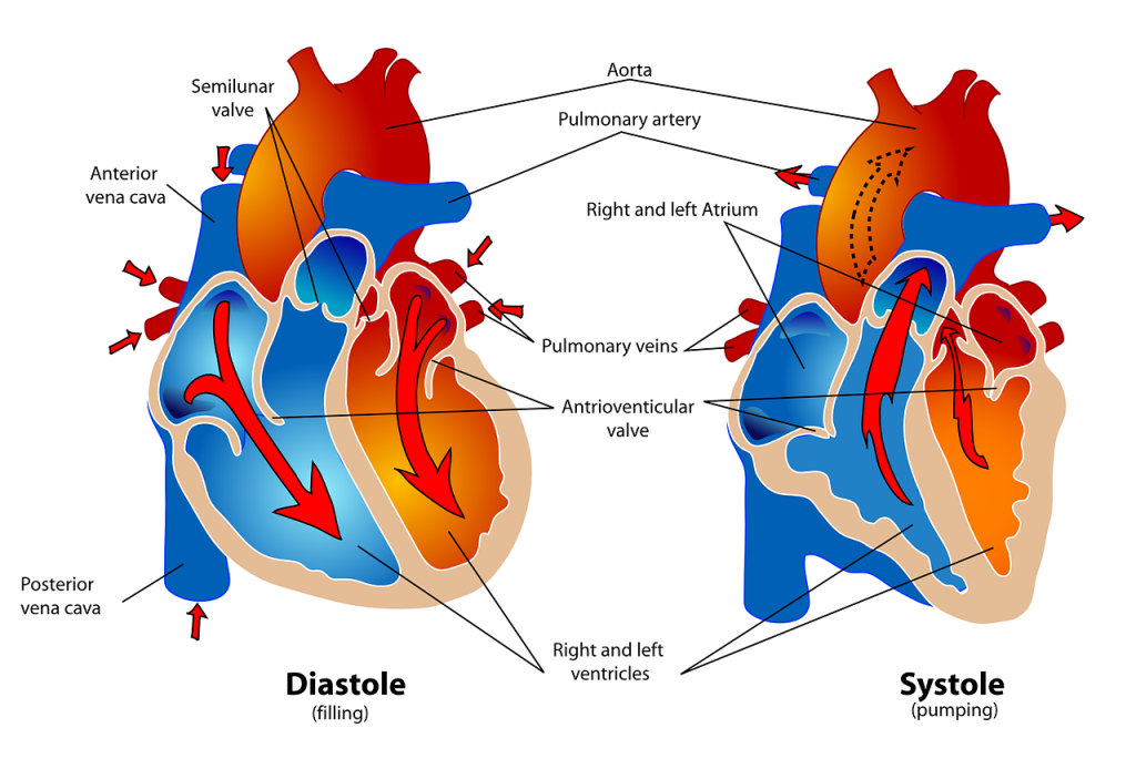diagram of the human heart