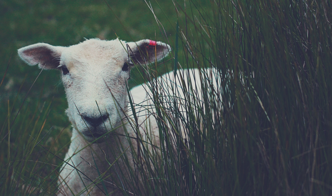 a lamb standing in tall grass
