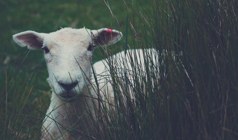 a lamb standing in tall grass