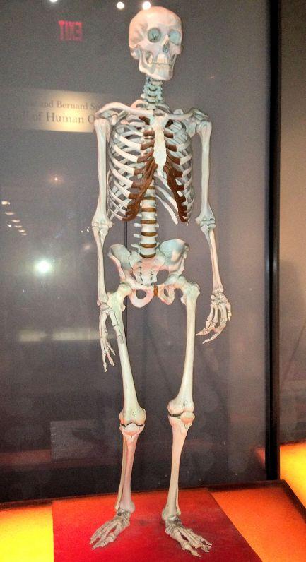 a human skeleton