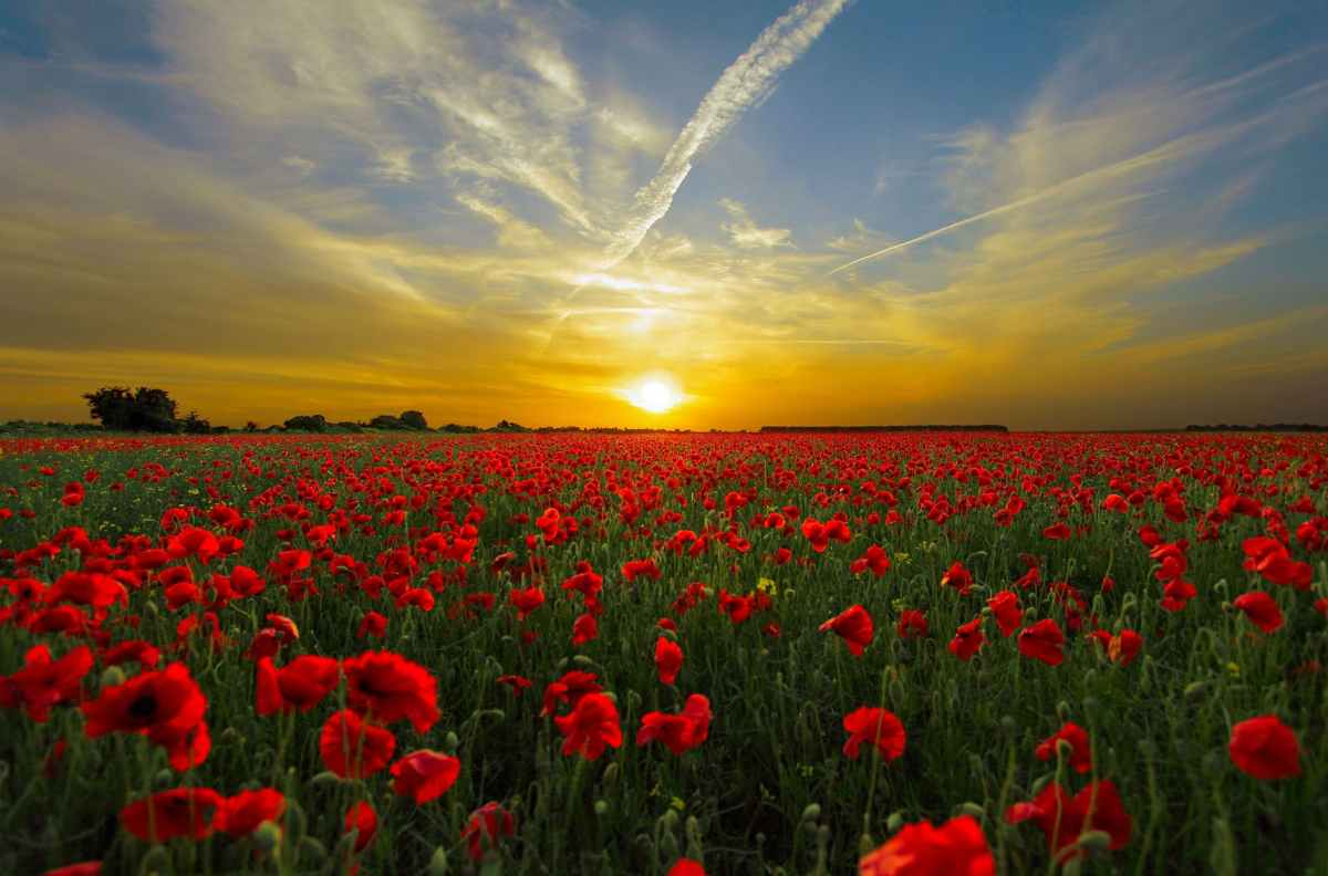 poppies- from Flanders fields to Kansas City