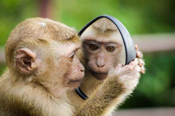 a cute monkey checks out his face in a mirrow