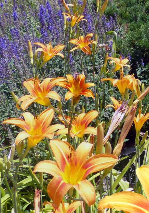 orange daylilies