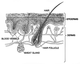 Skin: Epidermis and Dermis illustration