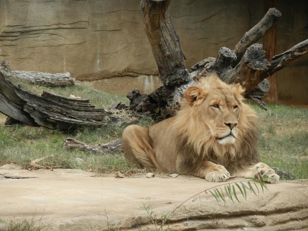 a male lion looking regal