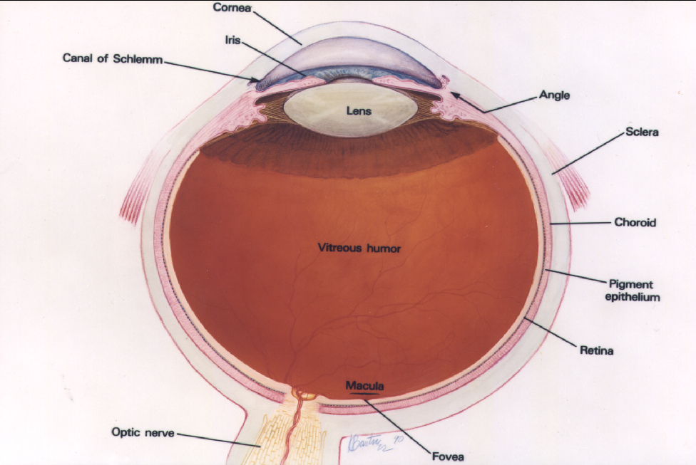 a drawing of a human eyeball