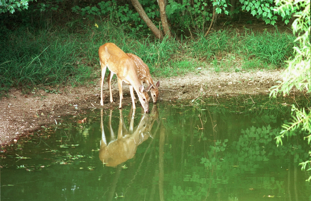 Doe and Faun White-tailed deer drinking at a farm pond in Stanly Co., NC on Aug. 19, 2000.