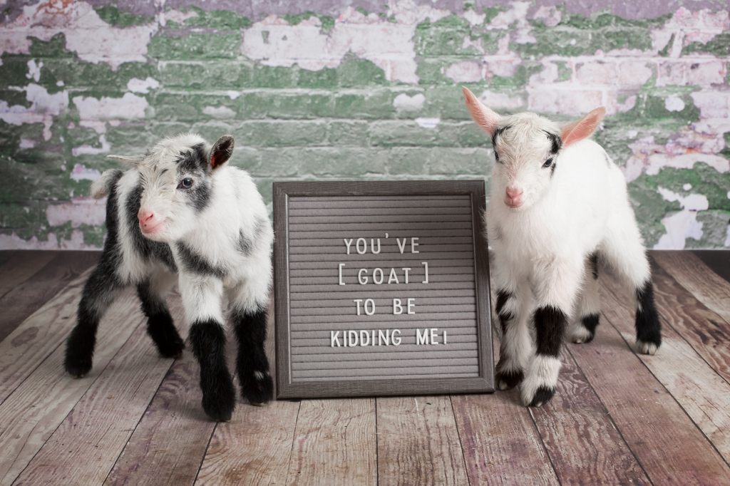 "Two Goats with Letter Board Phrase ""YOU'VE GOAT TO BE KIDDING ME"""