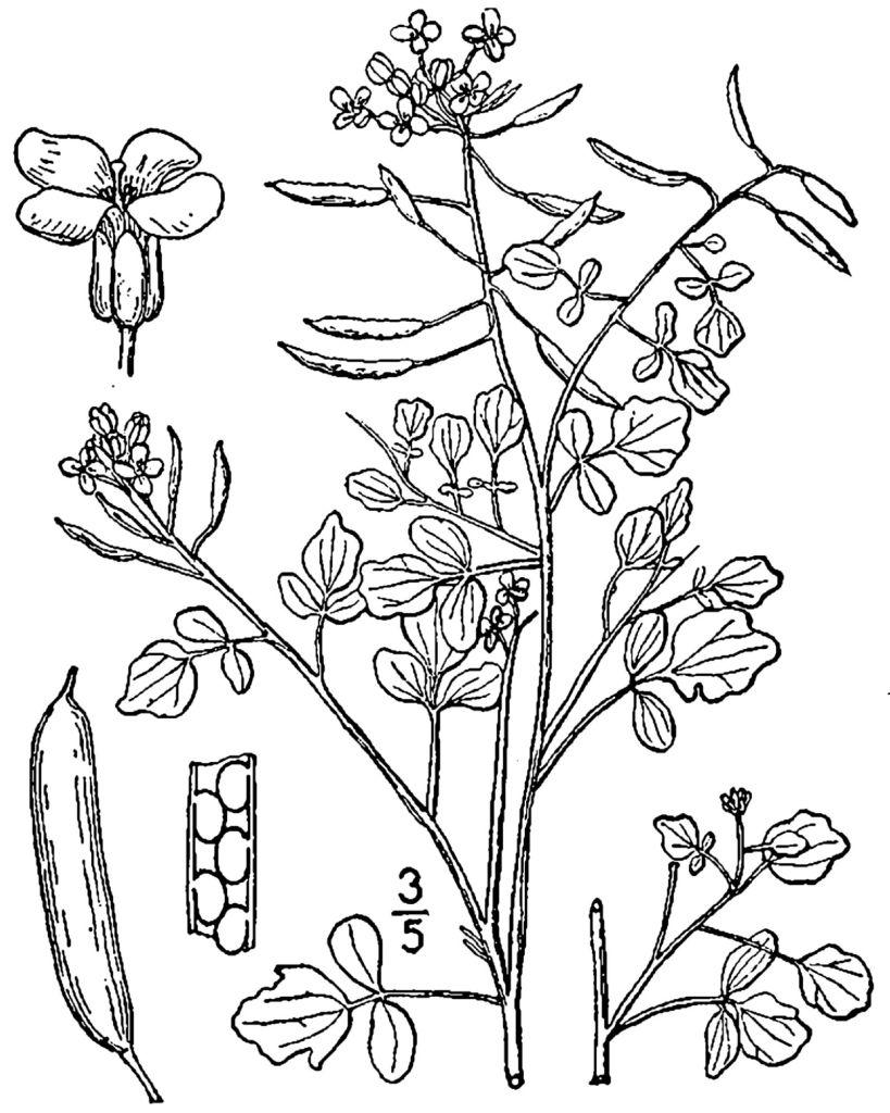 a drawing of a nastutium plant-watercress